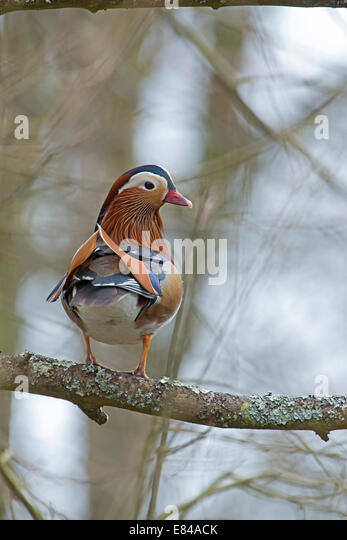 Mandarin Duck Aix galericulata male Arundel UK - Stock Image