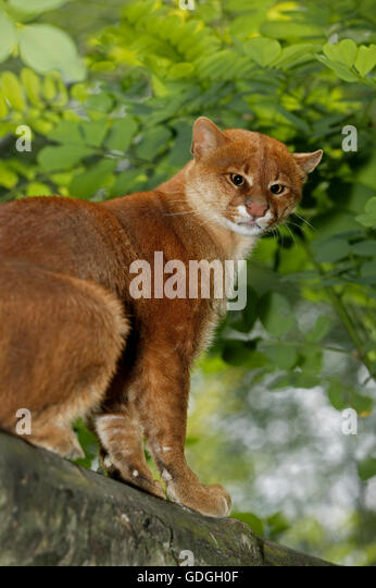 Jaguarundi, herpailurus yaguarondi, Adult sitting on Branch - Stock Image
