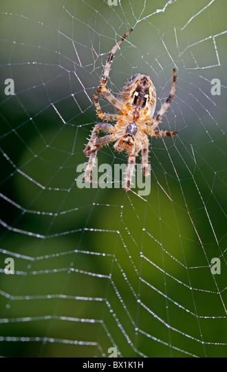 Garden spider repairing its web - Araneus diadematus - Stock-Bilder