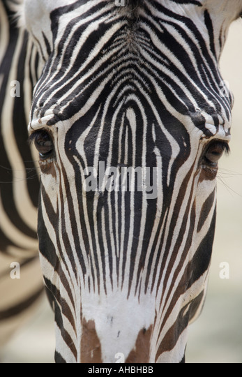 Zebra head closeup - Stock Image