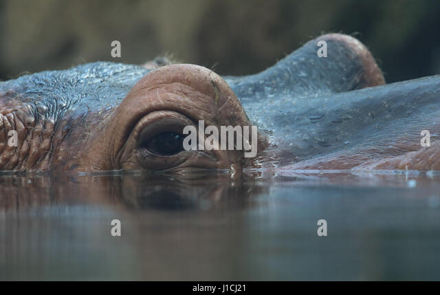 hippopotamus eye and ear close up Cincinnati Zoo, Ohio - Stock Image