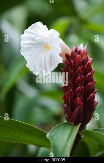 Crepe Ginger, Costus speciosus flower, in the Indian countryside - Stock-Bilder