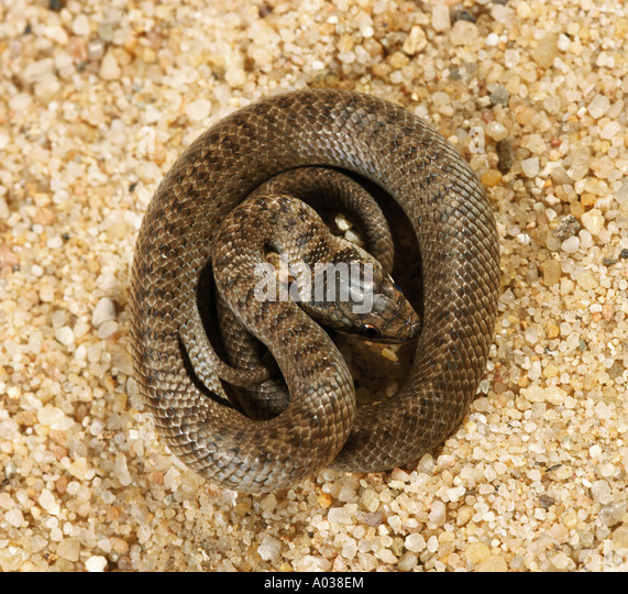 Smooth snake in sand - Stock Image