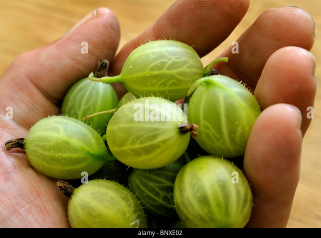 FRESH GOOSEBERRIES IN A MANS HAND - Stock Image