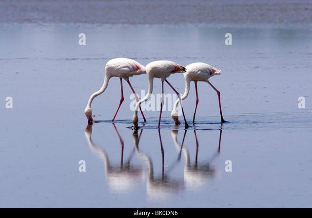 Flamingos - Lake Ndutu, Tanzania - Stock Image