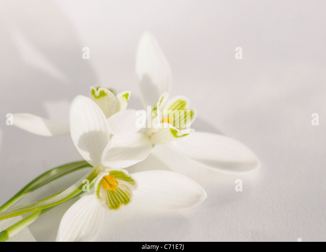 Galanthus nivalis Snowdrop White flowers against a white background. - Stock Image