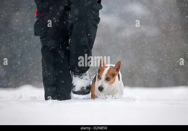 Jack Russell terrier dog walking with owner in the snow during snowfall in winter - Stock Image