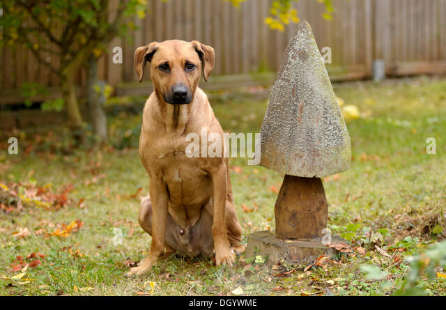 Mixed-breed Rhodesian Ridgeback sitting beside a wooden mushroom - Stock Image