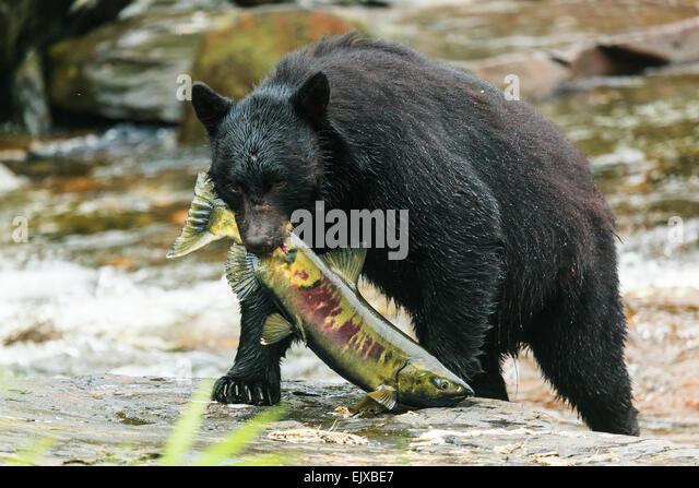 Black bear. - Stock Image
