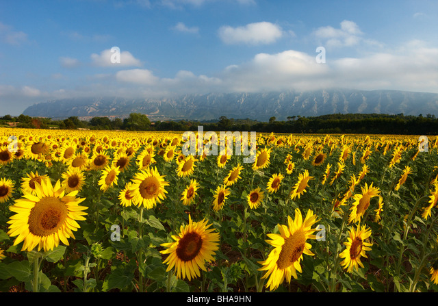 a field of sunflowers nr Puyloubier, with Montagne Ste Victoire beyond, Bouches du Rhone, Provence, France - Stock-Bilder