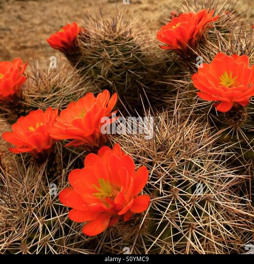 Claret cups in the desert - Stock Image