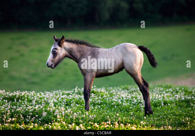 Horse foal (Equus caballus) in meadow with wildflowers, Belgium - Stock Image
