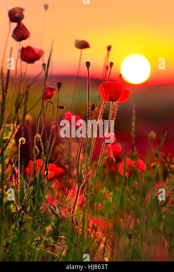 poppies at sunset - Stock Image