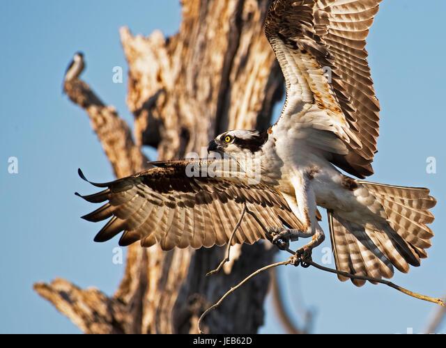 Osprey in Flight with Sticks - Stock Image