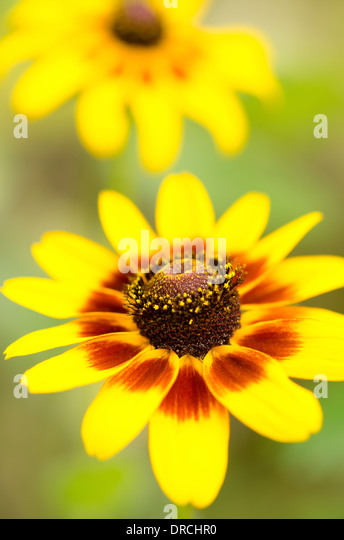 Close up of black-eyed Susan flower - Stock Image