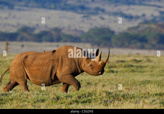 Black Rhinoceros (Diceros bicornis).Kenya - Stock Image