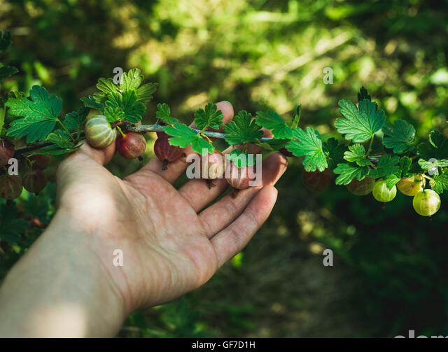 Man's hand picking ripe gooseberies in garden on sunny summer day - Stock Image