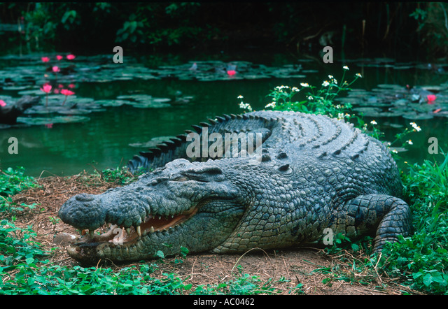 Estuarine Saltwater Crocodile Crocodylus porosus Basking open mouthed is a means of temperature regulation Australia - Stock Image