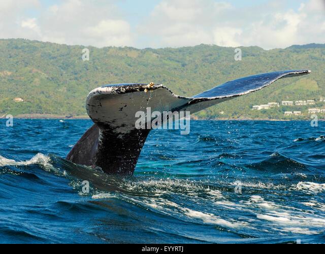 humpback whale (Megaptera novaeangliae), tail fin, Dominican Republic, Samana - Stock-Bilder