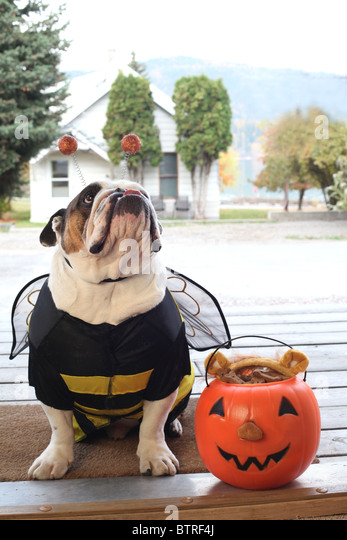 bull dog wearing bumble bee Halloween  costume as front door of house porch - Stock Image