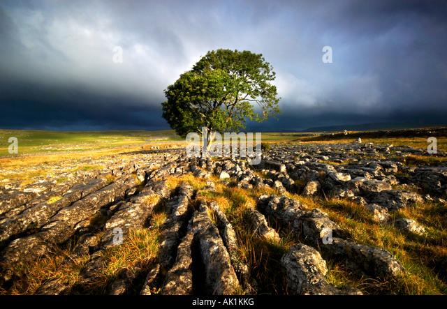 Sunburst On Lone Tree At Malham Yorkshire UK - Stock Image