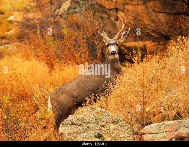 Mule deer, Black-tailed deer (Odocoileus hemionus), stag in autumn scenery, USA, Colorado, Rocky Mountain National - Stock Image