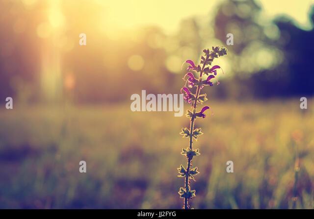 Purple wild flower in sunset - Stock Image