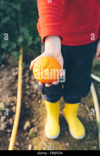 Low Section Of Person Holding Orange In Farm - Stock Image