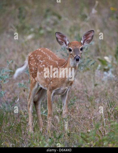 White-tailed deer (whitetail deer) (Virginia deer) (Odocoileus virginianus) fawn, Custer State Park, South Dakota, - Stock Image