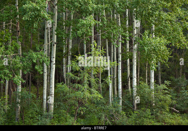 Aspen grove near Hawley Lake, Fort Apache Indian Reservation, Whiteriver, Arizona, USA - Stock Image