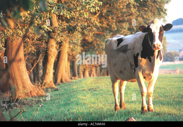 Cow Peak District UK - Stock Image