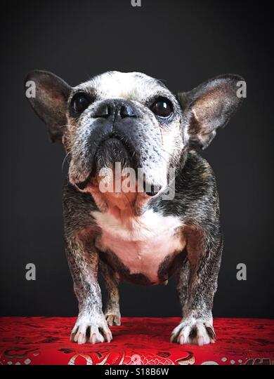 A cute old French bulldog. - Stock Image