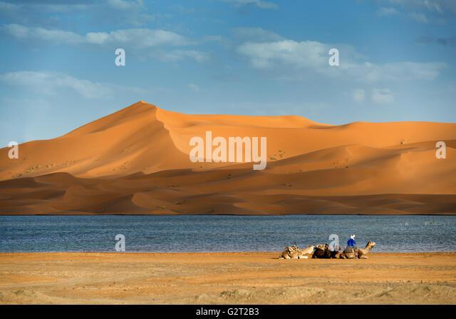 Dromedaries rest at the rain-filled lake near the Erg Chebbi sand dunes in Merzouga, Morocco. - Stock Image