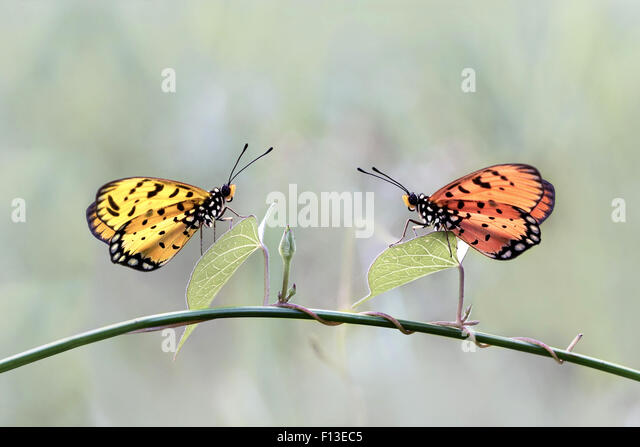 Two butterflies on a plant - Stock Image