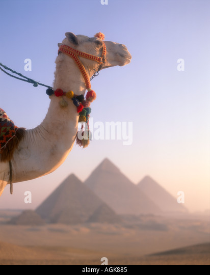 Camels and pyramids Giza cairo Egypt - Stock Image