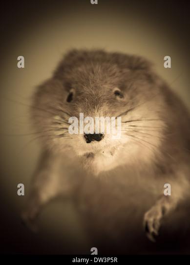 Closeup of stuffed rodent. - Stock Image