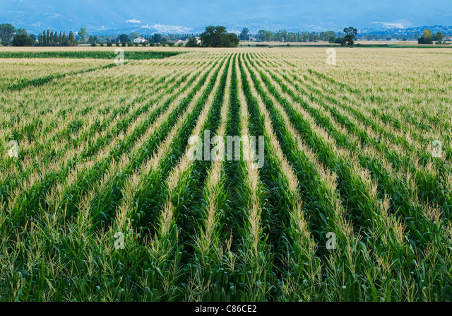 Sweetcorn / Maize field - Tuscany - Italy - Stock Image