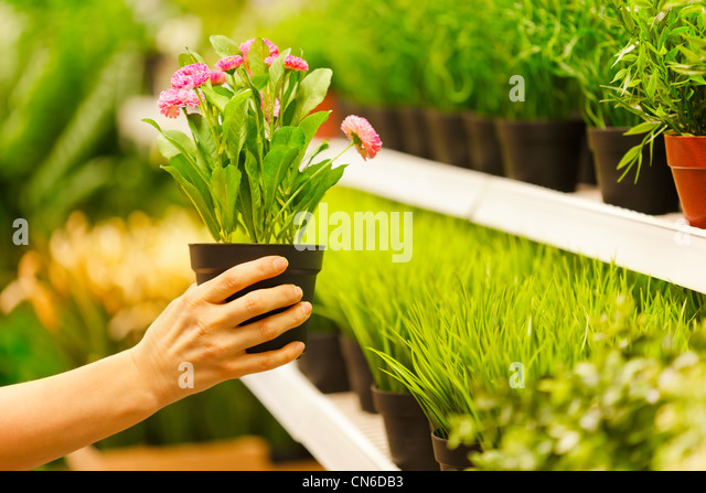 Closeup on hands taking pots of flowers from store shelf - Stock Image