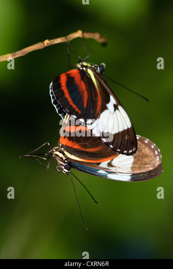 Mating Cydno Longwing Butterfies - Stock Image
