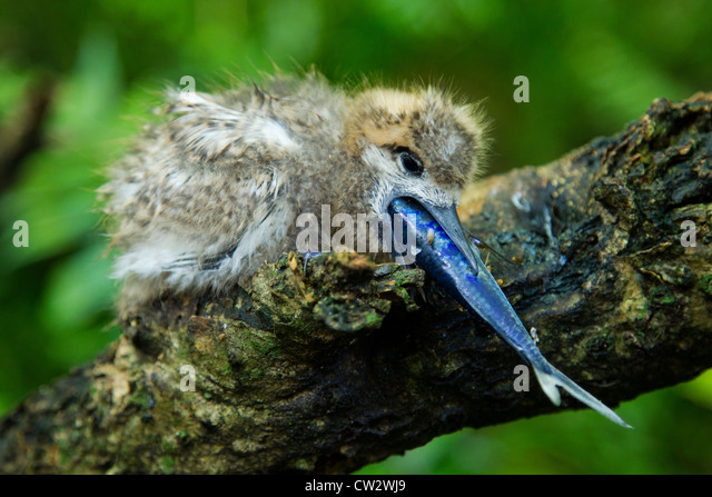 White fairy tern chick (Gygis alba) eating a fish.Seychelles - Stock Image