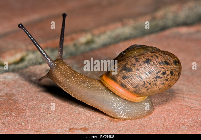 Common brown garden snail crawling on a on brick surface with tentacles extended - Stock Image