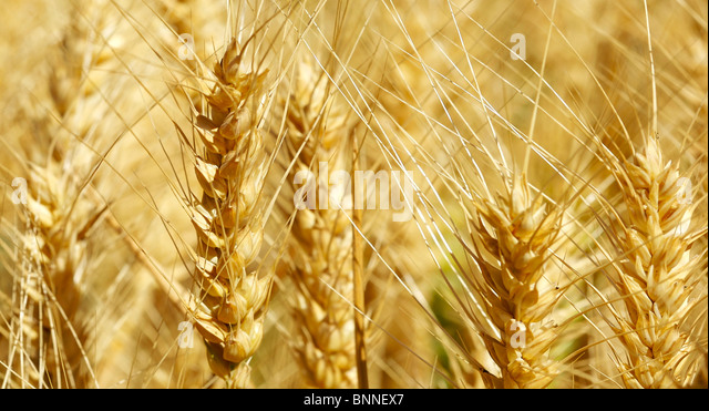 Wheat that is ready to harvest - Stock Image