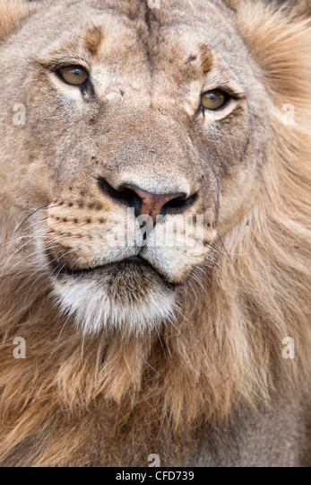 Male lion (Panthera leo), Addo National Park, Eastern Cape, South Africa, Africa - Stock Image