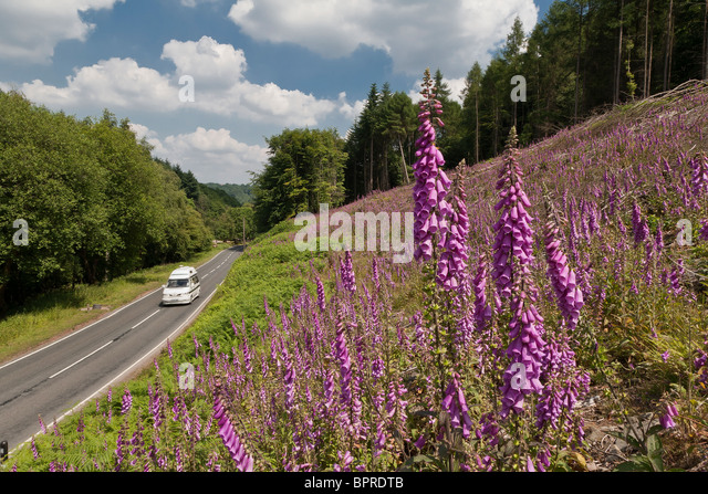 CAMPER VAN ON ROAD IN FOREST OF DEAN WITH FOXGLOVES IN FOREGROUND - Stock Image