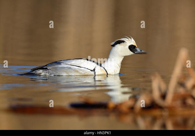 Smew (Mergellus albellus), male in lake, wintering, Middle Elbe Biosphere Reserve, Saxony-Anhalt, Germany - Stock Image