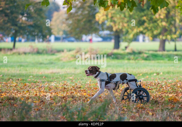A dog with injured back legs enjoys running with the aid of rear wheels - Stock Image