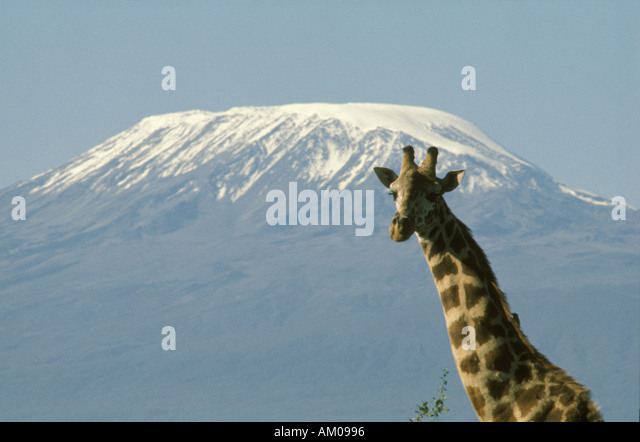 Giraffe and Kilimanjaro - Stock Image