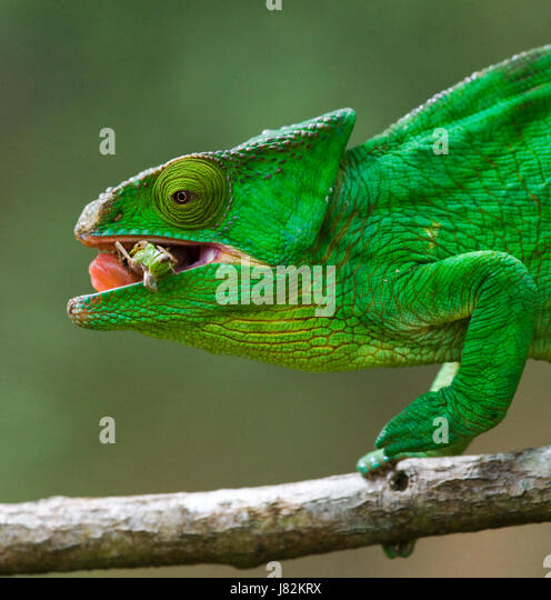 Chameleon eating insect. Close-up. Madagascar. An excellent illustration. - Stock Image