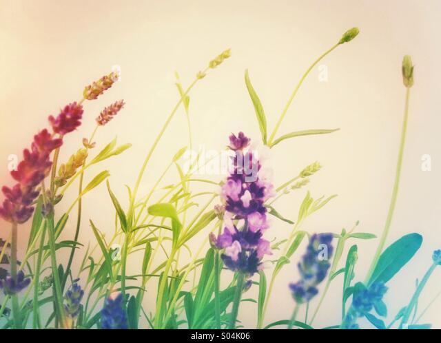 Lavender flowering plant - Stock Image