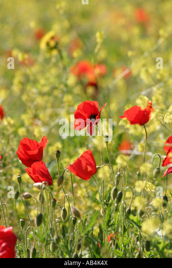 Poppies and wild flowers  growing  on the Piano Grande,Sibillini National Park Le Marche ,central Italy - Stock Image